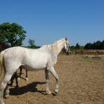 「養老馬の余生を支える、馬糞堆肥の運搬用トラックを購入したい」